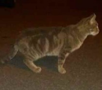 cat found in St Jean sur Richelieu