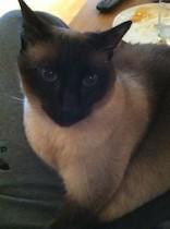 cat lost in Marieville