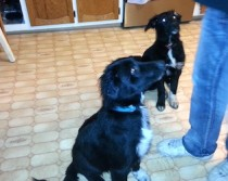 2 dogs lost in Longueuil