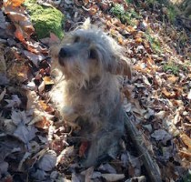 dog lost in Cowansville