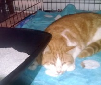 Orange and white cat found in LaSalle