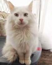 White cat found in Mont-Saint-Hilaire