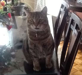 cat lost in Châteauguay