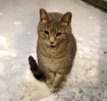 cat found in Dorval
