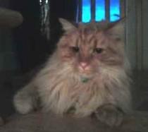 cat found in Vaudreuil