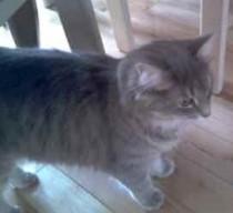 cat lost in St-Canut