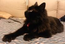 Chat noir trouvé dans Rosemont