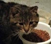cat found in Pont-Viau