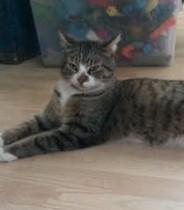 cat found in Ste Agathe des Monts