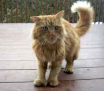 cat found in Ste-Dorothée
