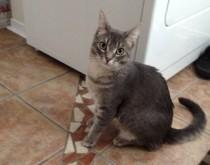 cat lost in Aylmer
