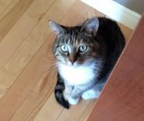 cat lost in St-Hilarie