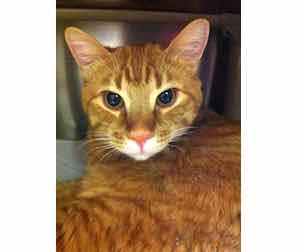 cat found in St Hyacinthe