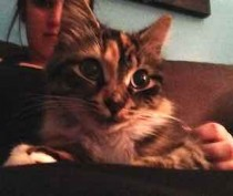 Calico tabby found in Ville-Émard