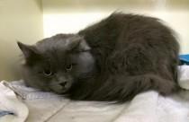 Chat gris trouvé dans Ville Marie