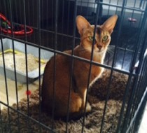 cat found in Chomedey