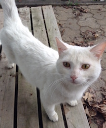 cat found in Vieux Longueuil