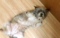dog lost in Lachine