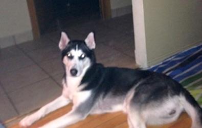 dog lost in Ville Marie husky