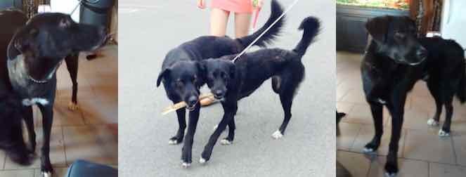 two dogs lost in Blainville