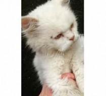 cat found in the Laurentians