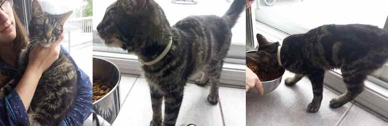 cat found in Mont St-HIlaire