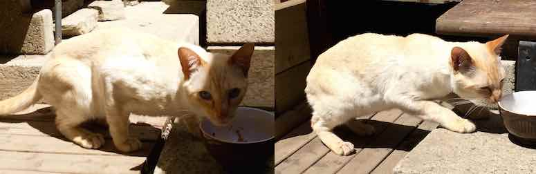Chat siamois trouv verdun adopt for Adaptation chat nouvelle maison