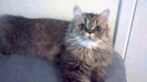 cat lost in Drummondville