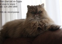 cat lost in Ste Dorothée