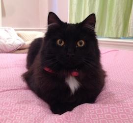 cat lost in Westmount