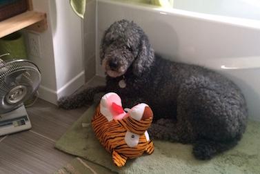 dog lost in St-Jean-sur-Richelieu