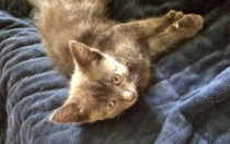 kitten found in Brossard