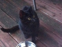 cat found in Chateauguay