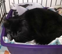 cat found in Ste-Adèle