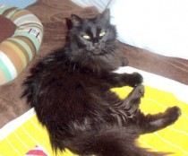 cat lost in Ville Marie