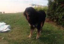 dog found in Lac-des-Plages