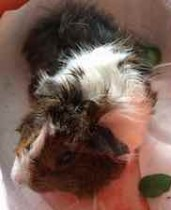 guinea pig found in Pointe St-Charles