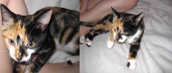 kitten found in Boucherville