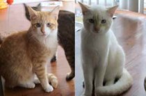 3 cats lost in Ste-Rose
