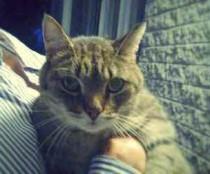 cat found in Boisbriands