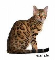cat lost in Laprairie