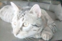 cat lost in St Jovite