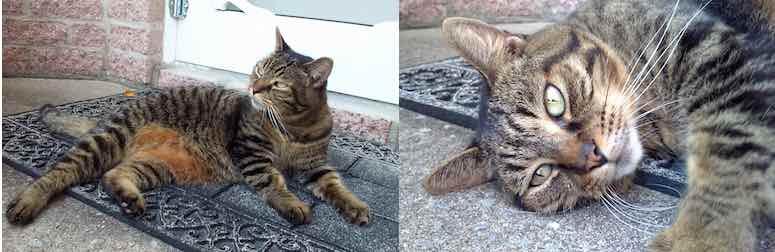 cat found in Boisbriand