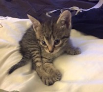 kitten lost in Pointe Claire