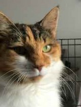 Calico cat found in Carignan