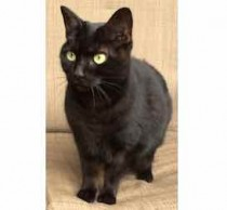 cat found in Little Burgundy