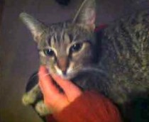 Young grey tabby found in St-Henri