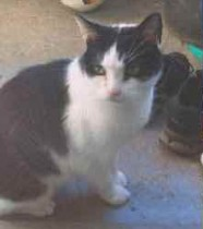 cat found in Pont Viau