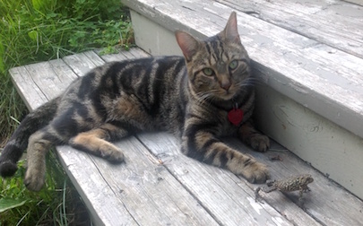 cat lost in Chambly