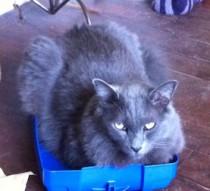 Grey cat lost in Rosemont